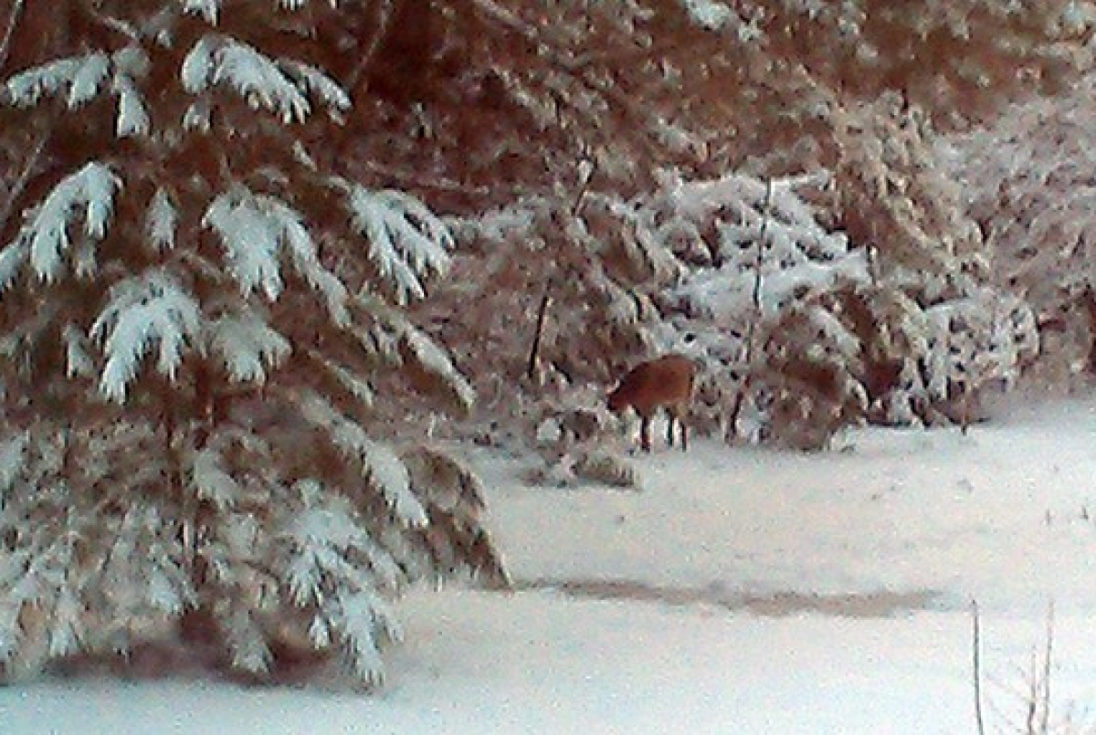 Deer near Frederica