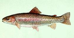 Rainbow trout (Photo: DNREC)