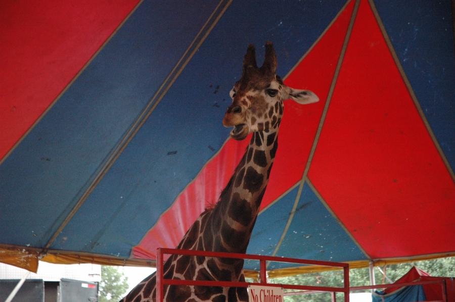 2015 Delaware State Fair giraffe