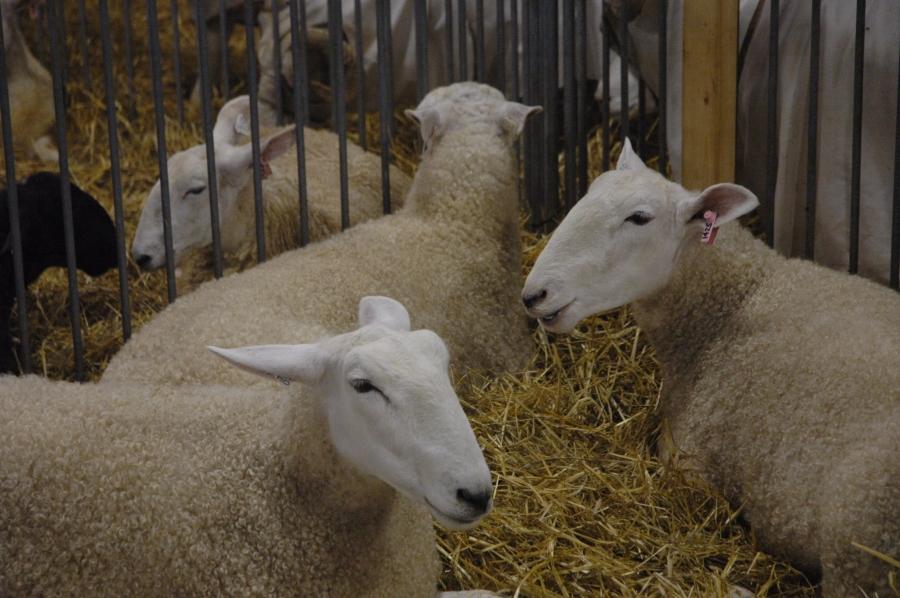 2015 Delaware State Fair sheep