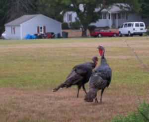 Delaware wild turkeys (Photo: DNREC)