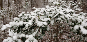 Snow clings to holly leaves near Frederica on Sunday, Jan. 17. (Photo: Delaware Free News)
