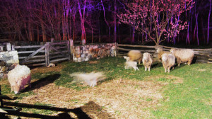 Sheep were rescued from barn. (Photo: Delaware Free News)