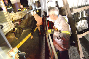 Cow is removed from overturned trailer. (Photo: Delaware Free News)